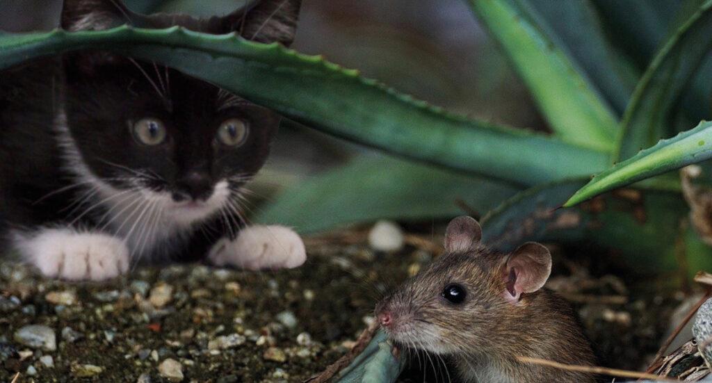 Mus, Kat og mus, jagtet, drømmetydning, forstå dine drømme, der betyder vores drømme, fakta om drømme