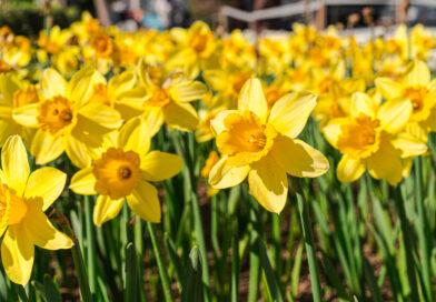 Få dine påskeliljer til at holde længere, påskeliljer, fakta om påskeliljer, Påskeliljer giftige, forårs blomter,